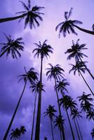 Hawaii, Kauai, Coconut Palm Trees Silhouetted At D