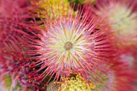 Red Pin Cushion Protea Blossom Or Leucospermum