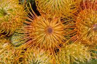 View Red Pin Cushion Protea Blossoms Or Leucosperm