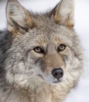 Portrait of a wild Coyote near the Alaska Wildlife
