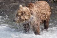 Brown Bear shakes dry in Funnel Creek Katmai Natio