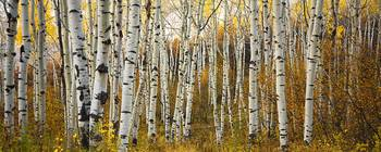 Colorado, Steamboat, Aspen Tree Trunks In Grove Wi