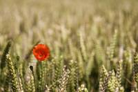 Poppy Flower In Field Of Wheat