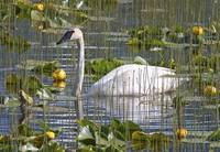 A Trumpeter Swan in a Lily pond near Seward Alaska