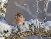 Close up view of a male Redpoll in spring breeding
