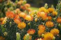 Hawaii, Upcountry Maui, Orange Pin Cushion Protea