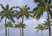 Hi, Oahu, Rainbow And Coconut Palm Trees Over Pear