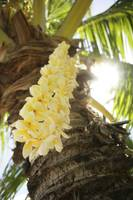 Hawaii, Close-Up Of A Yellow Plumeria Lei Hanging