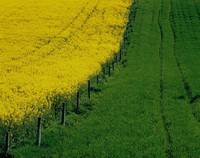 Rapeseed Growing In A Field, Ireland