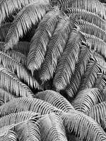 Hawaii, Big Island, Kona, Hualalai, Fern fronds