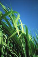 Sugarcane Plant Close-Up With Blue Sky In Backgrou