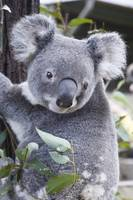 Koala In Tree, Phascolarctos Cinereus, Australia