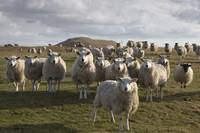 A Flock Of Sheep In A Field, Northumberland, Engla