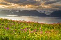 Field of Fireweed on hill overlooking Kachemak Bay