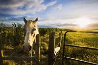 Horse At Sunset Near Moose Jaw, Saskatchewan