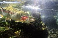 Rainbow Trout in the Kulik river, Katmai National