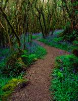 Hazel And Bluebells In Spring, Ardcarrig, County G