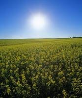 Bright Sun And Bloom Stage Mustard Field, Saskatch