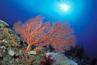 Papua New Guinea, Milne Bay, Orange Sea Fan