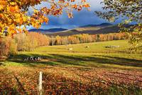 Fall Colours, Cows In Field And Mont Sutton, Sutto