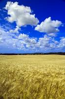 Maturing Barley Crop And Sky With Cumulus Clouds,