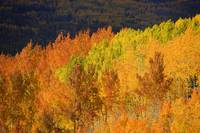 Colorado, Near Steamboat Springs, Autumn Aspen Tre