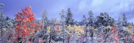 Aspens In Fall With Snow, Near 100 Mile House, Bri