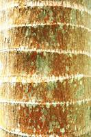 Hawaii, Oahu, Close-Up Of Coconut Palm Tree Bark T