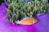 Micronesia, Close-Up Of Pink Anemonefish With Anem