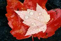 Rain Drops On Red Maple Leaves