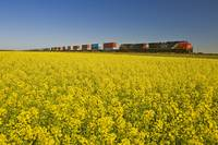 Rail Cars Carrying Containers Passe A Canola Field
