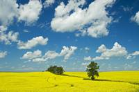 Canola Field And Clouds, Rathwell, Manitoba, Canad