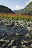View of Fireweed and river in Reed lakes area of A