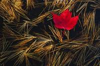 Red Maple Leaf On Pine Needles In Pool Of Water, O