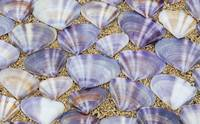 Seashells laying in rows in the sand, Oahu, Hawaii