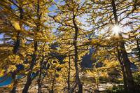 Sun Through Larch Trees, Lake Mcarthur, British Co