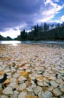 Cottonwood Leaves On Peace River, British Columbia