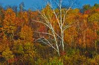 Birch Tree Surrounded By Colorful Forest, Manitoul