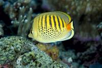 Micronesia, Spot-Banded Butterflyfish