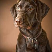 """""""Chocolate Labrador Retriever"""" by DesignPics"""