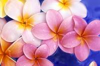Close-Up Of Yellow And Pink Plumeria Flowers Float