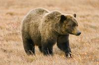 Grizzly Bear Along Dempster Highway, Yukon, Canada
