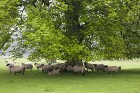 Sheep Standing Under A Tree Northumberland, Engla
