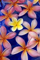 Studio Shot Of One Yellow And Mixed Color Plumeria