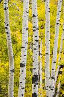 Aspen In Autumn, Jasper National Park, Alberta, Ca