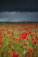 Poppies In A Field Under A Stormy Sky Northumberl