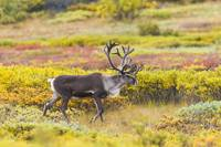 Bull Caribou On Tundra In Early Fall With Antlers
