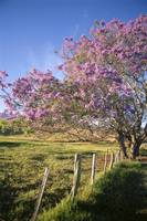 Hawaii, Maui, Upcountry With Jacaranda Tree, Blue