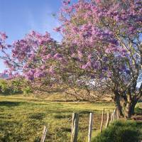 """Hawaii, Maui, Upcountry With Jacaranda Tree, Blue"" by DesignPics"