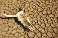 Cow Skull On Cracked Dry Mudflat